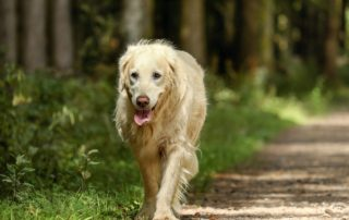 Older Golden Retriever Walking