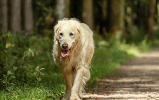 Older Golden Retriever Walking